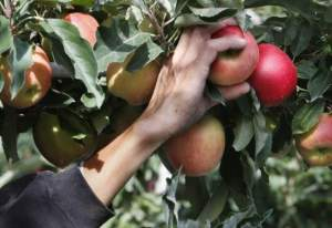 Apple Picker Andy Sawyer Yakima Herald